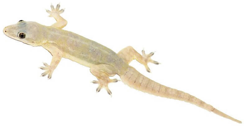 Easy Ways to Get Rid of Lizard At Home