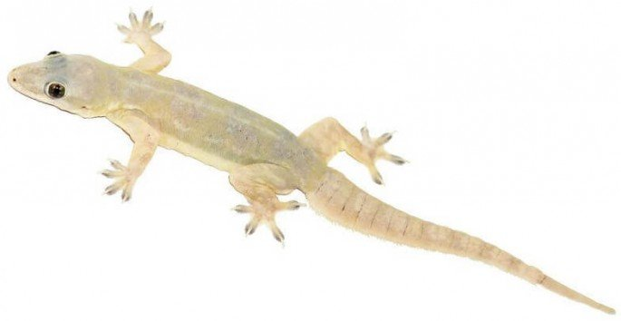 2 Easy Ways to Get Rid of Lizard At Home